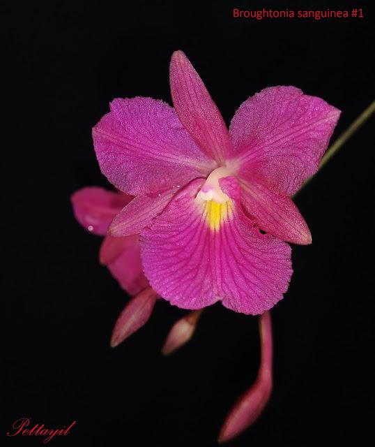 Broughtonia sanguinea (Sw.) R.Br.,