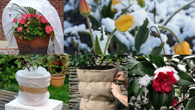 Πως θα προστατέψετε τα φυτά σας από κρύο, παγετό και χιόνι