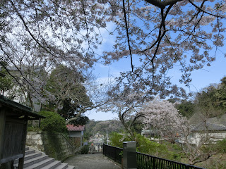 成就院の桜
