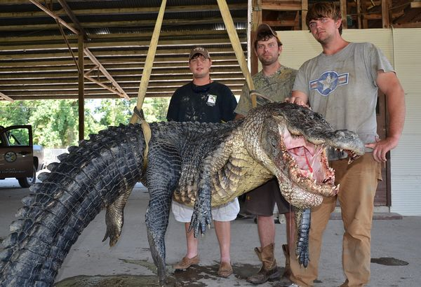 These Men Caught The Biggest Alligator In The World; But They Were Shocked After Seeing What Is Inside The Stomach Of IT!