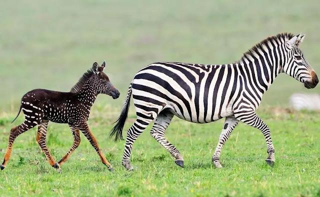 Dream Meaning of Zebra