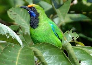 cara merawat burung,Tips,Perawatan,cucak ijo trotolan untuk Lomba,dengan Metode Harian,