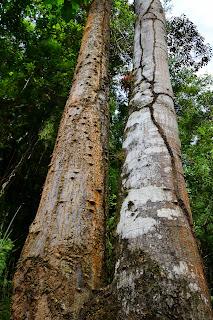 Poro Trees