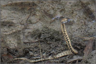 Culebra viperina (culebra de agua) y alevines