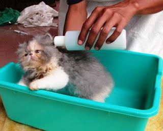 Jasa Grooming Kucing Panggilan Ke Rumah