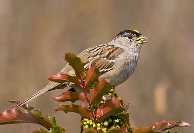 Photo of adult Golden-crowned Sparrow on Oregon grape