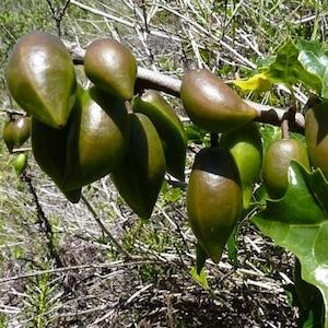 Detalle de furtos de papayo chileno