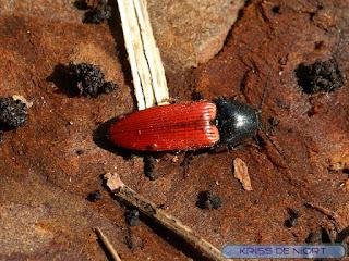 Ampède rouge sang - Taupin sanguin - Ampedus sanguineus