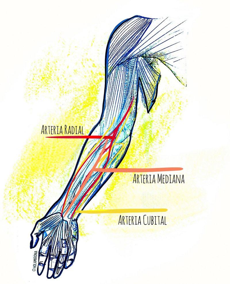 Científicos australianos detectaron que una tercera arteria está saliendo en el antebrazo