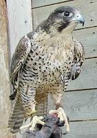 Peregrine falcon, Island Falconry Services, PEI, Canada - photo Denise Motard