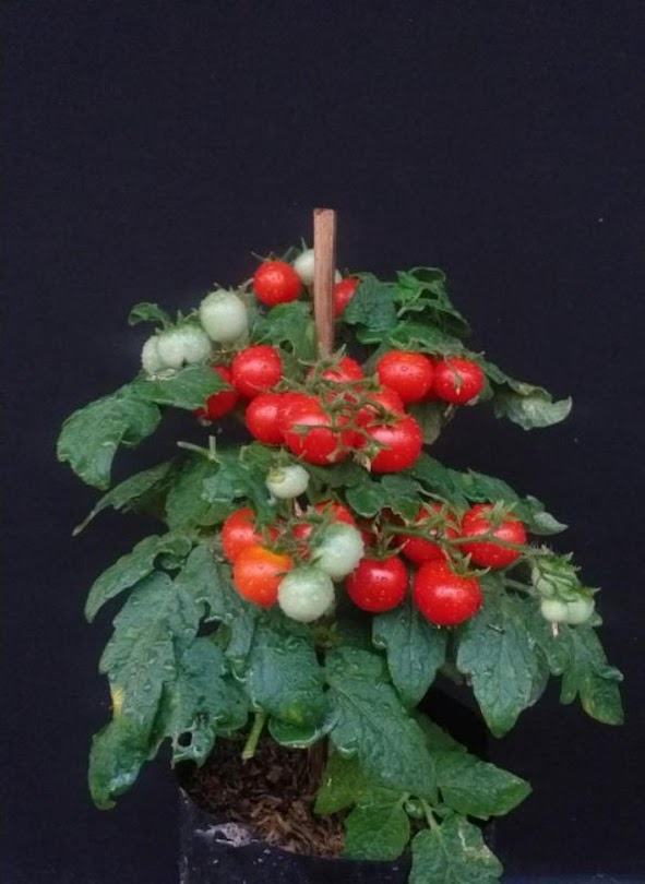 Paket Benih 40 Biji Tomat Mini 4 Jenis Sumatra Barat