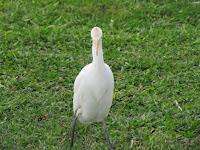 Cattle egret, Ala Moana Park, Oahu - © Denise Motard