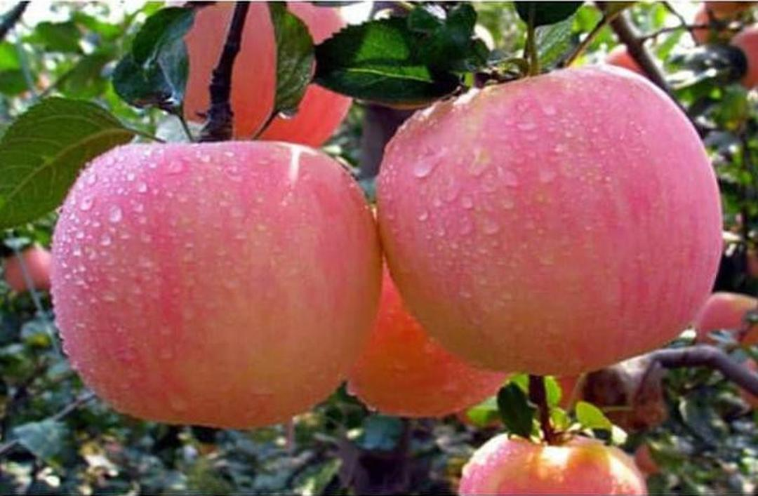 Stok melimpah! Asli Bibit Tanaman Buah Apel Pink Honey Okulasi Siap Berbuah WISATA AGROTANI Kota Bekasi #jual bibit buah genjah