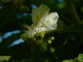 de la varico meșteșuguri flori de castan