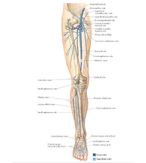 Veins of Lower Limb Anatomy