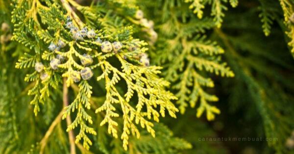 Rare Juniper Tree