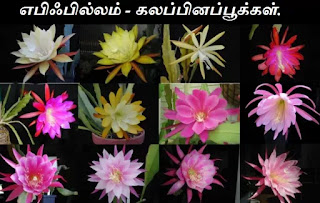 epiphyllum hybrid flower