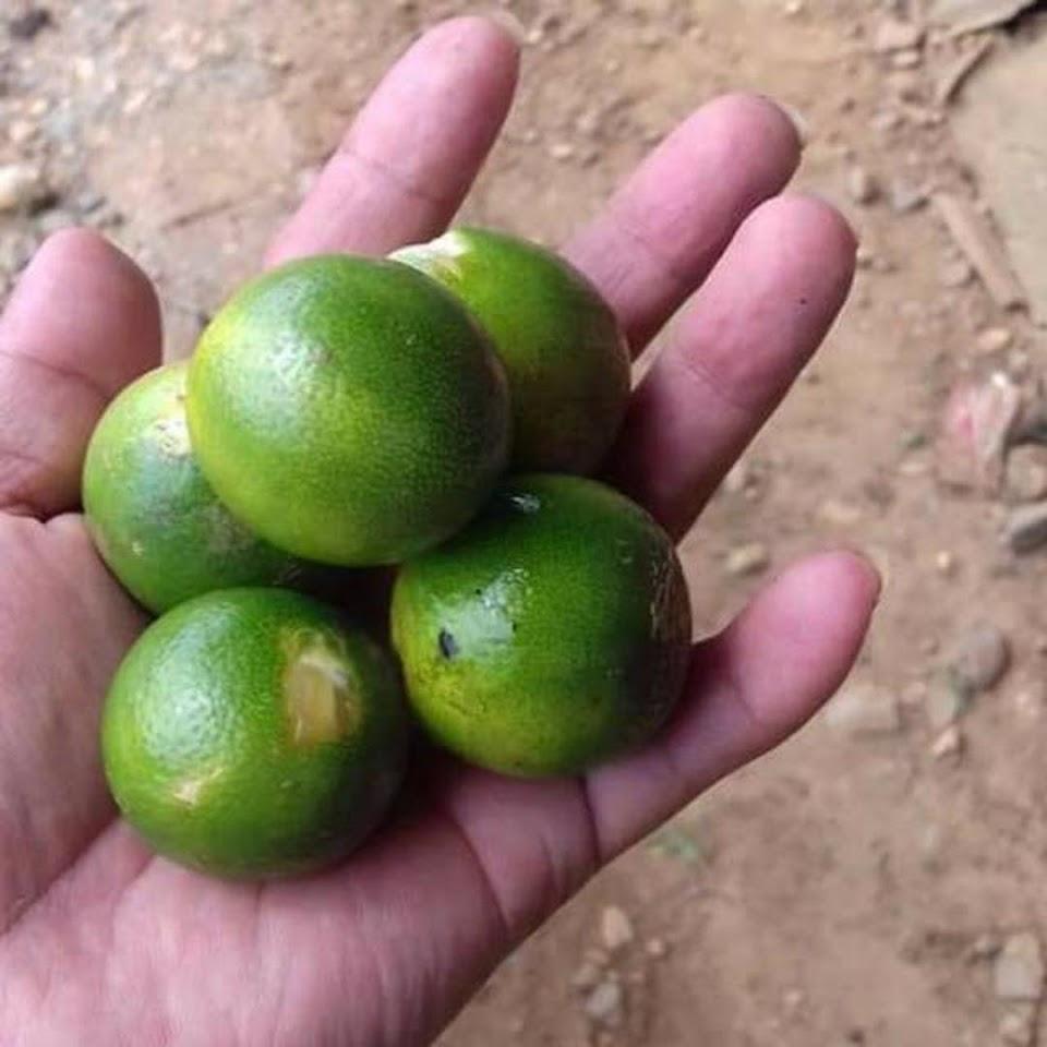 Bibit jeruk sonkit Sumatra Barat