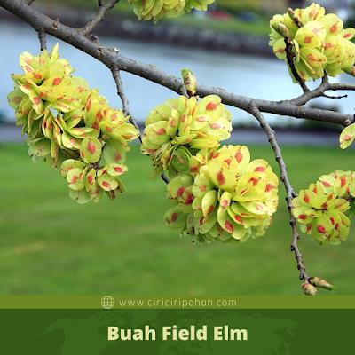 Ciri Ciri Buah Field Elm