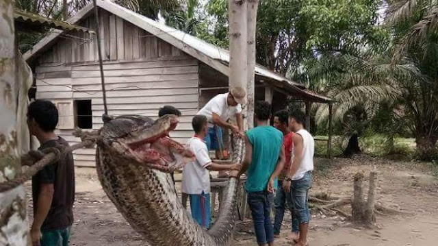 ular sawah 20171002 124426 - Heboh! Pemuda di Inhu Nekat Bergelut dengan Ular Raksasa, Kondisinya Kini Mengenaskan