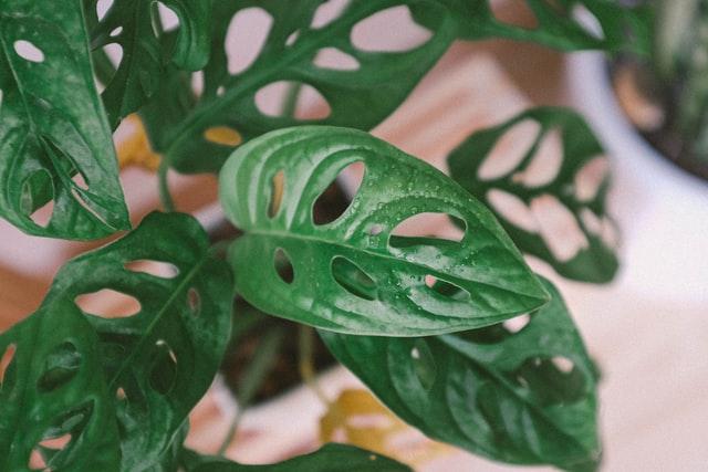 Gambar Janda Bolong tanaman hias