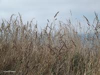 Grasses, Kaikoura Peninsula - South Island, New Zealand