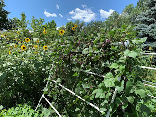 Trellis covered in beans, blooming sunflowers behind it