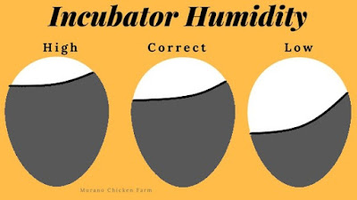 Correct incubator humidity for hatching chicks