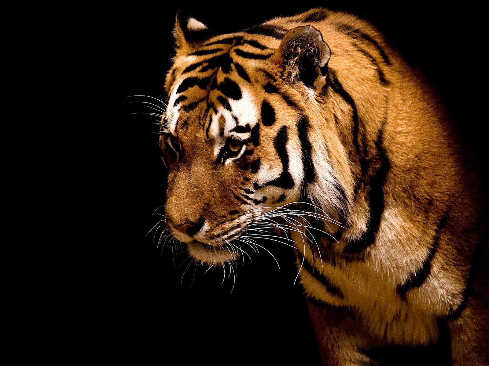 Tiger Hd Wallpapers: HD Wallpapers: Tiger Full HD Wallpapers