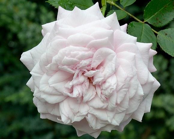 Kordes' Rosenfaszination сорт розы фото Кордес