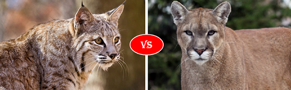 Bobcat vs cougar vs mountain lion