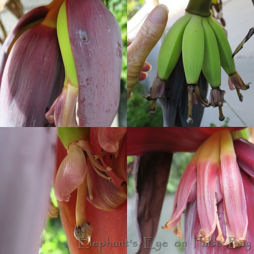Banana flowers and young fruit