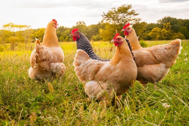 Sopir Truk Antre Tes Covid-19 Berjam-jam, 3.500 Ayam Bawaannya Mati