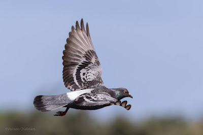 Pigeon in Flight : Table Bay Nature Reserve / Woodbridge Island