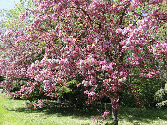 apple trees in bloom on Hacquoil Rd. The Camellia