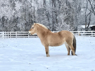Fjord horse in snow