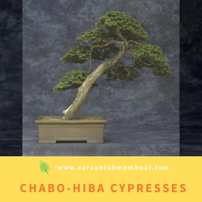 Chabo-hiba Cypresses