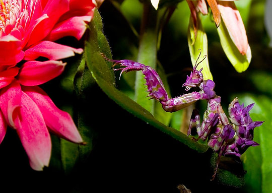 purple praying mantis