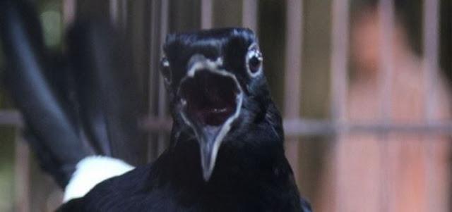 Burung Murai Batu Gacor