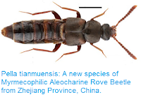 http://sciencythoughts.blogspot.co.uk/2015/12/pella-tianmuensis-new-species-of.html