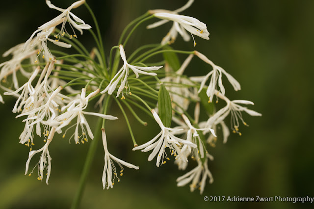 wispy white alium - photo by Adrienne Zwart