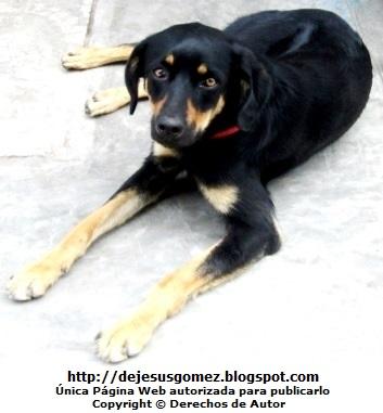 Foto de un perro negro echado en el piso y atento a la cámara. Foto del perro de Jesus Gómez