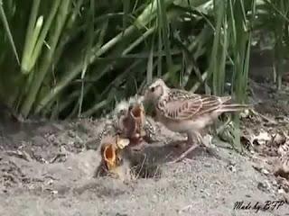Burung Branjangan - Pola Penjemuran yang Teratur Bagi Burung Branjangan