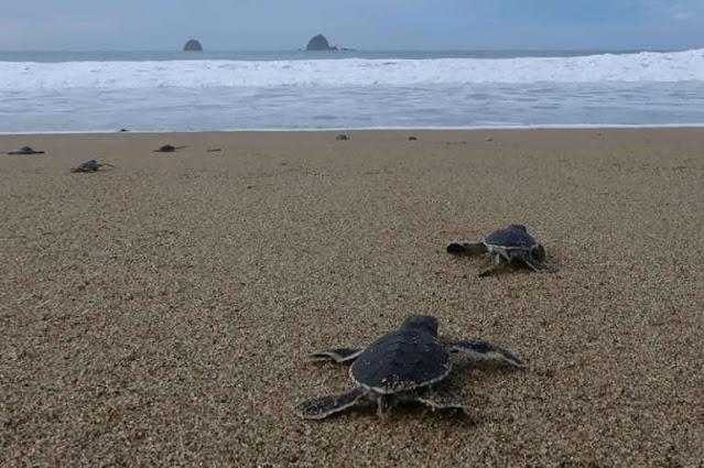 Indonesian sea turtle hatchlings seek freedom