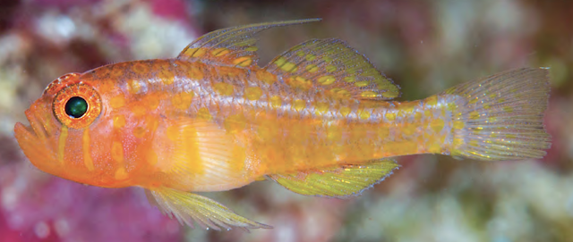 Reef Fish (Trimma Putrai)