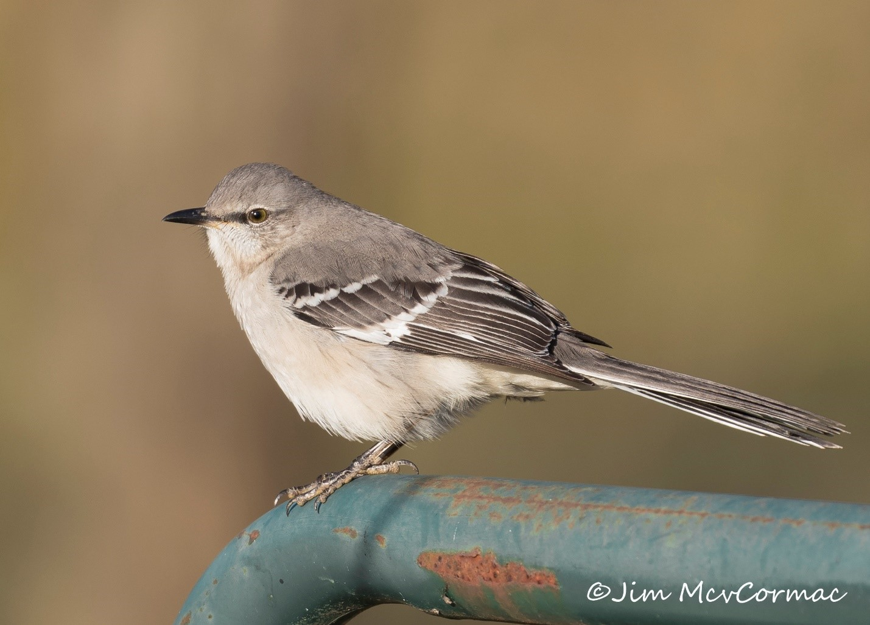 Ohio Birds and Biodiversity: Nature: Common northern mockingbird is  overlooked marvel