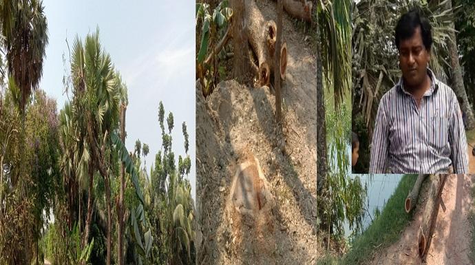 ফরিদগঞ্জে ক্ষমতার দাপট দেখিয়ে সরকারি গাছ কর্তন