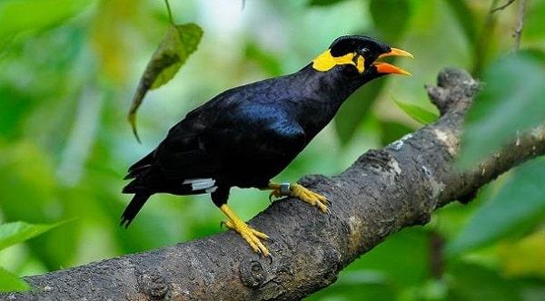 Klasifikasi burun Beo Nias adalah sebagai berikut. Beo Nias adalah burung endemik Pulau Nias yang dapat menirukan suara. Habitat Beo Nias adalah pohon
