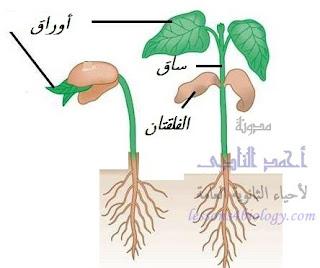 التغذية على غذاء الفلقتان أثناء مراحل نمو النبات الأولى