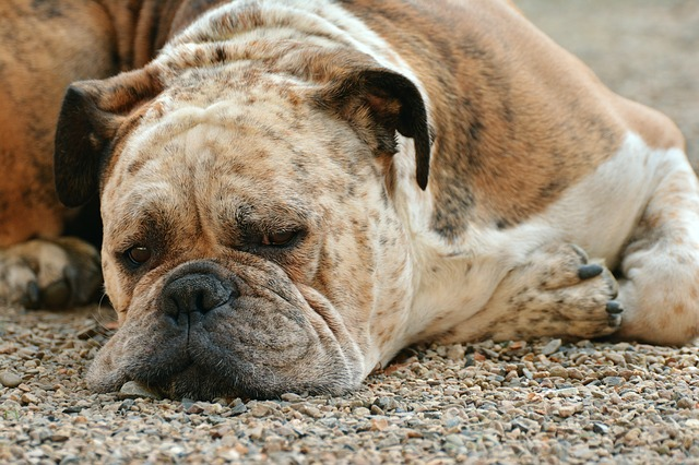 How to give energy back to a lazy dog?